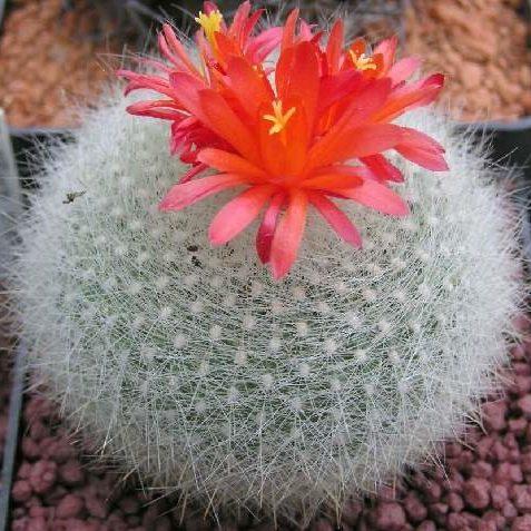 Scarlet Ball Cactus