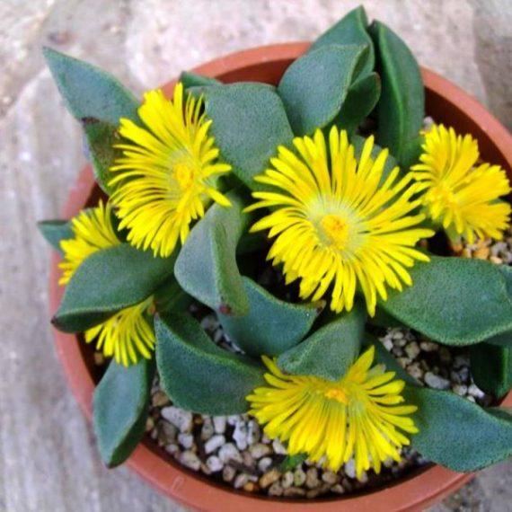 Mimicry Plant, Split Rocks
