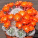 White-haired Crown Cactus