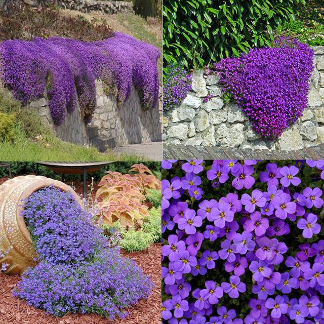 Aubrieta purple cascades