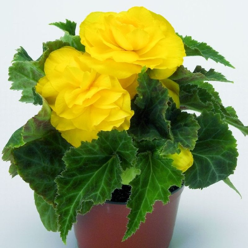 Begonia New Star Yellow 01