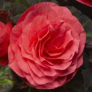 Begonia go go rose0