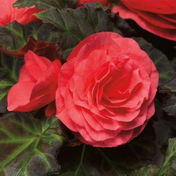 Begonia go go rose1