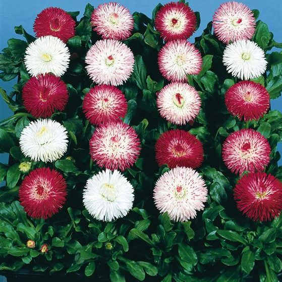A Widespread Noxious Cool Season Annual: Bellis Perennis Habanera Mix -English Daisy Seeds X50