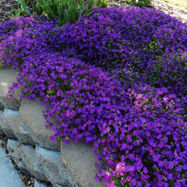 aubrieta purple cascades1