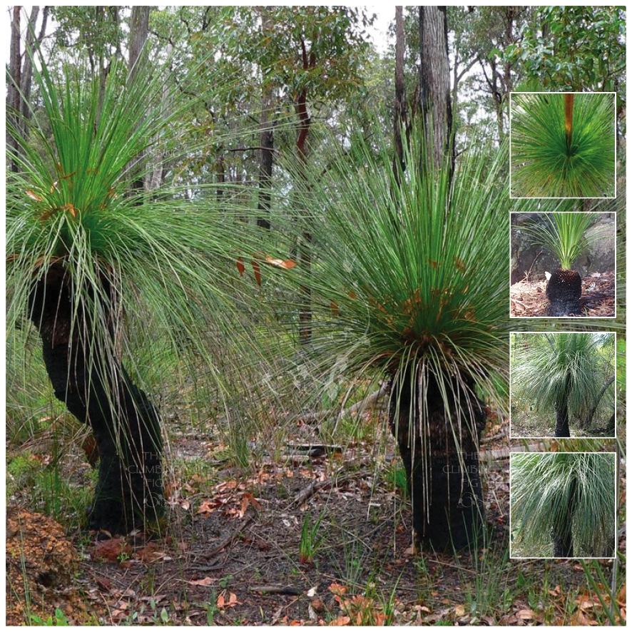 xanthorrhoea preissii  u2013 balga w a  grass tree seed x20  u2013 ole lantana u2019s seed store