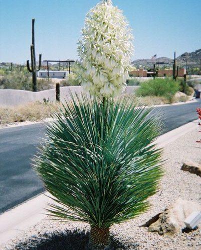 Yucca elata 00