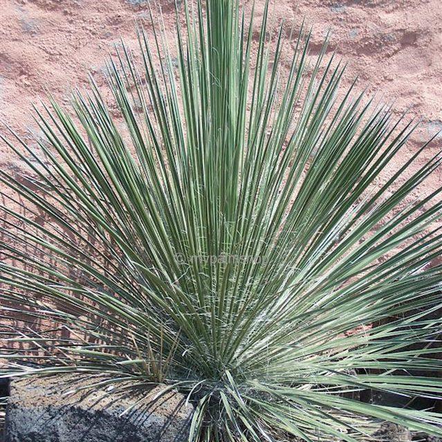 Yucca elata 02