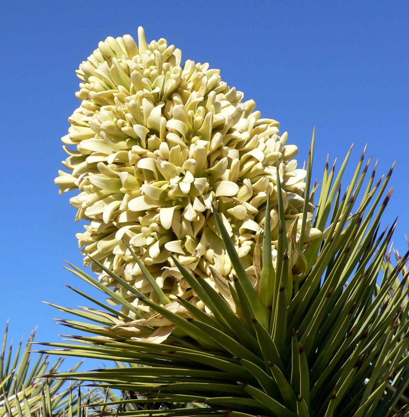 yucca brevifolia 01