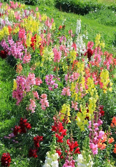 50 Snapdragon Seeds Liberty Classic Mix FLOWER SEEDS