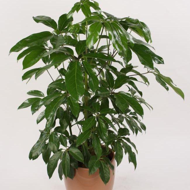 Schefflera aboricola 02