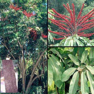 Schefflera actinophylla 06