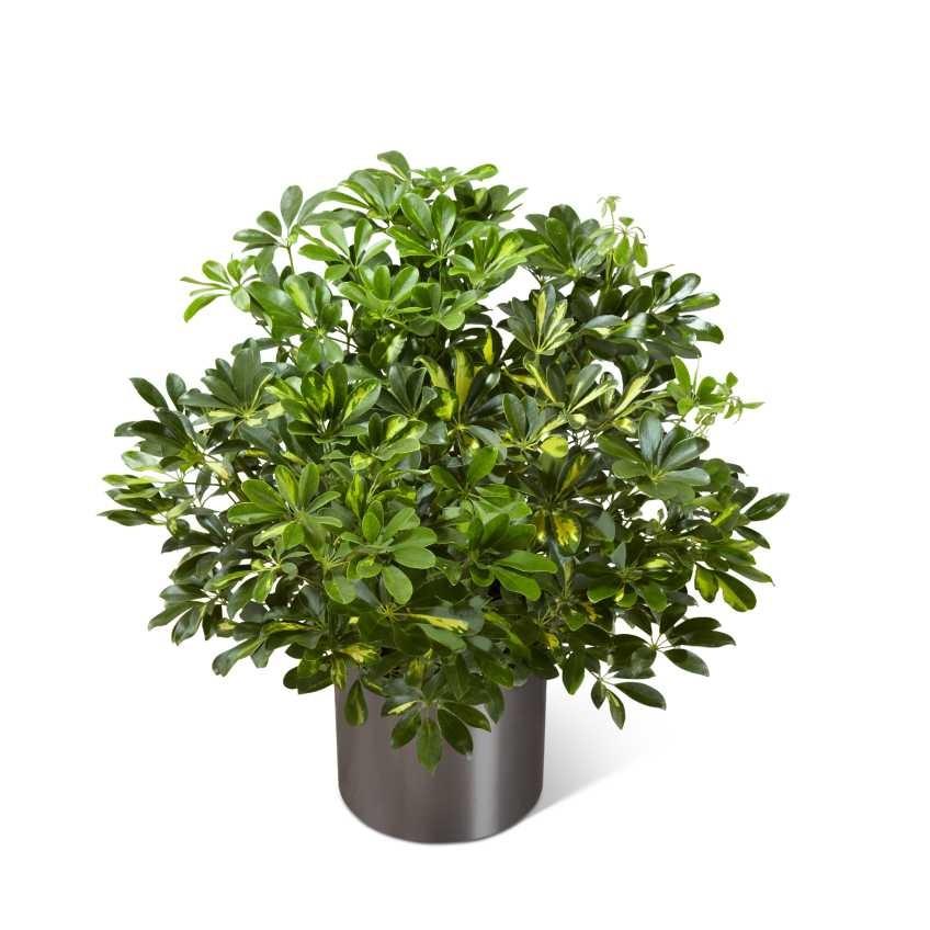 Schefflera arboricola 05