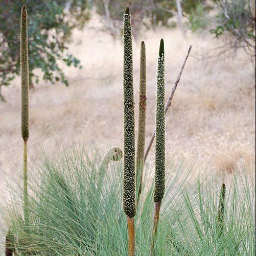 X. gracilis 03