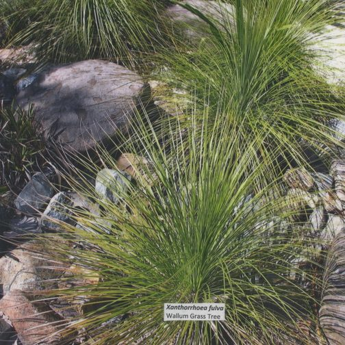xanthorrhoea fulva  u2013 coastal grass tree seeds x 25  u2013 ole lantana u2019s seed store