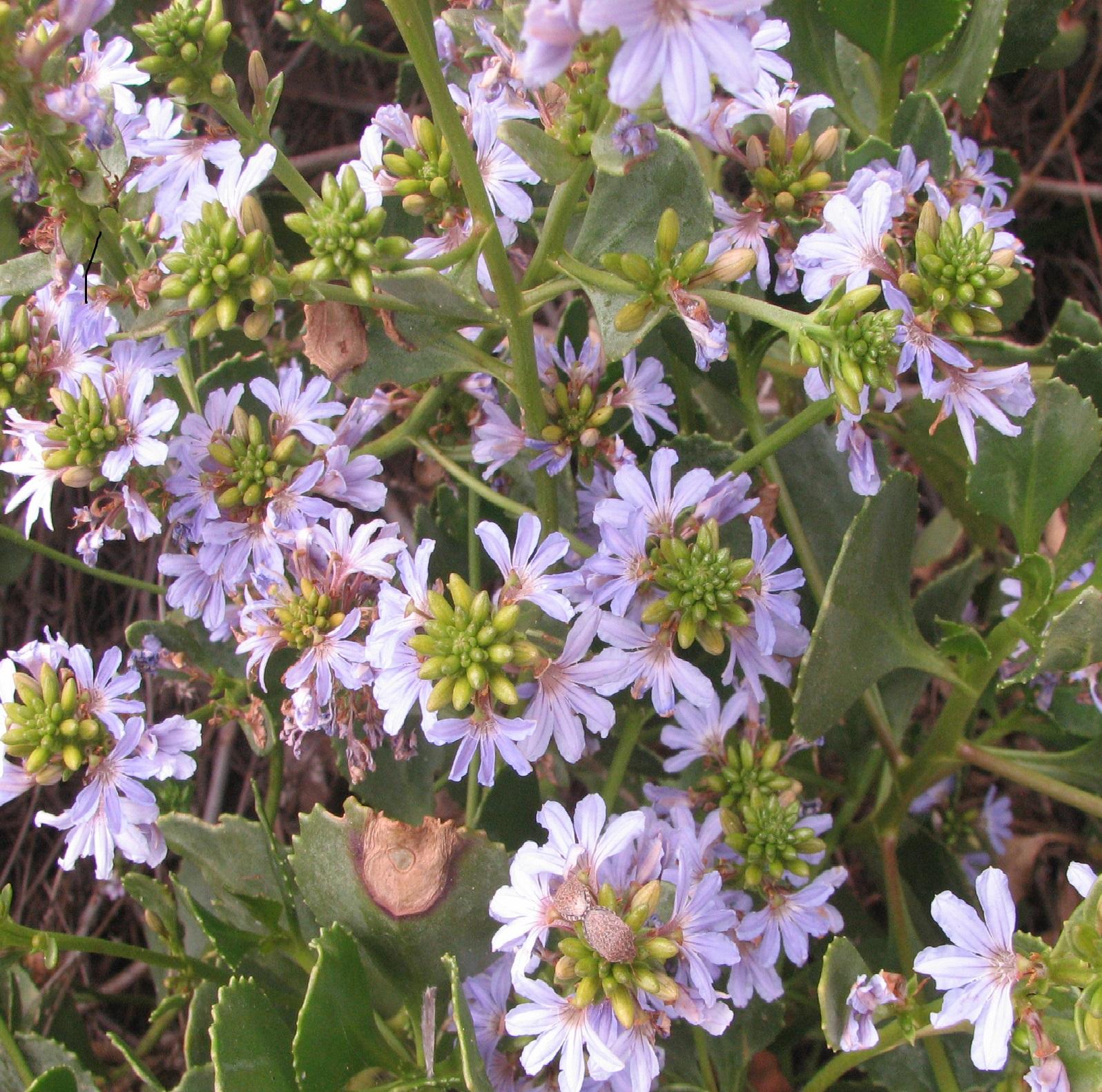 scaevola crassifolia 05