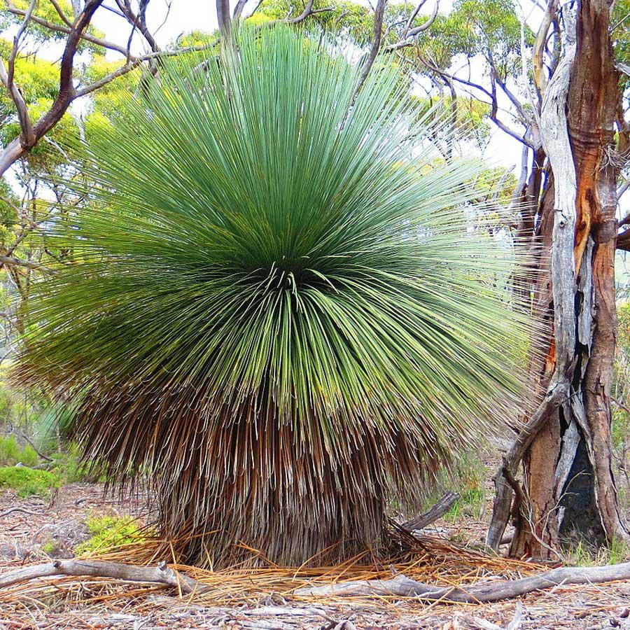 xanthorrhoea semiplana  semiplana  u2013 tufted yacca grass tree seed x20  u2013 ole lantana u2019s seed store