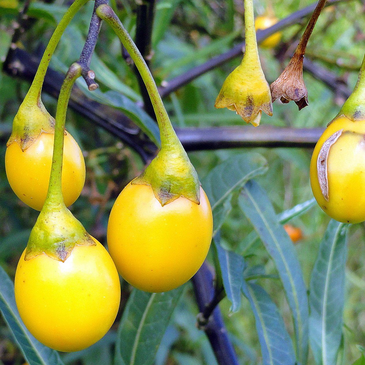 Solanum laciniatum 02