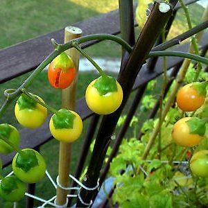 Solanum laciniatum 03