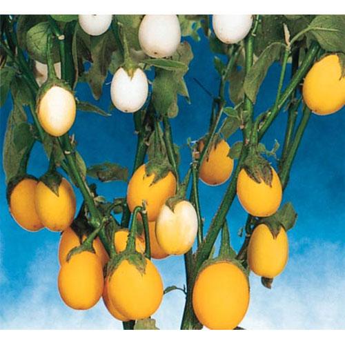 Solanum melongena 03