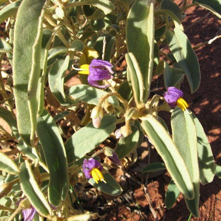 Solanum_centrale
