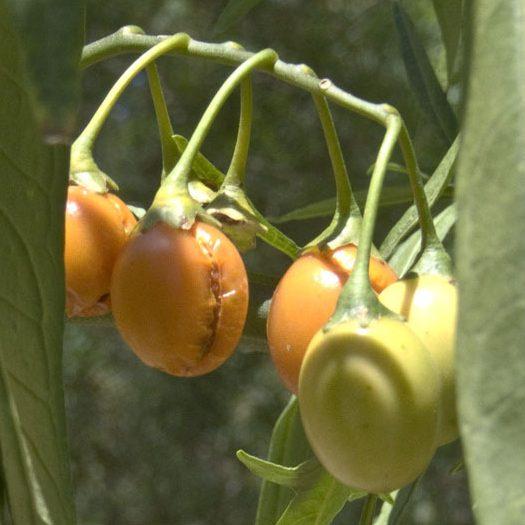 Solanum_centrale1