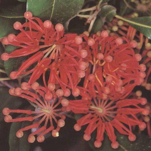 stenocarpus0002