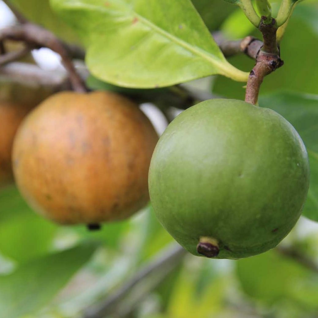 Atractocarpus fitzalani 2