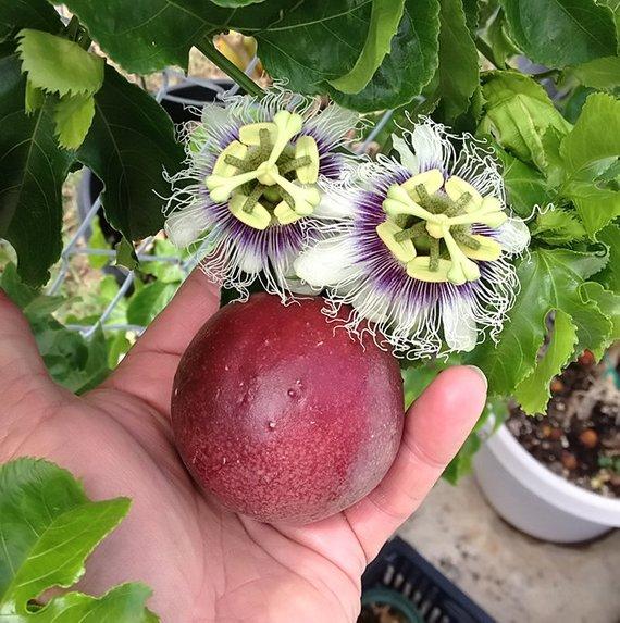 Passiflora Improved Panama Red 2