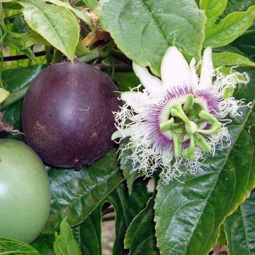 Passiflora Purple Giant 02