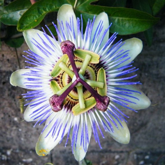 Bluecrown Passionflower Seed Vigorous Vine Edible Fruit Large Continuous Flowers