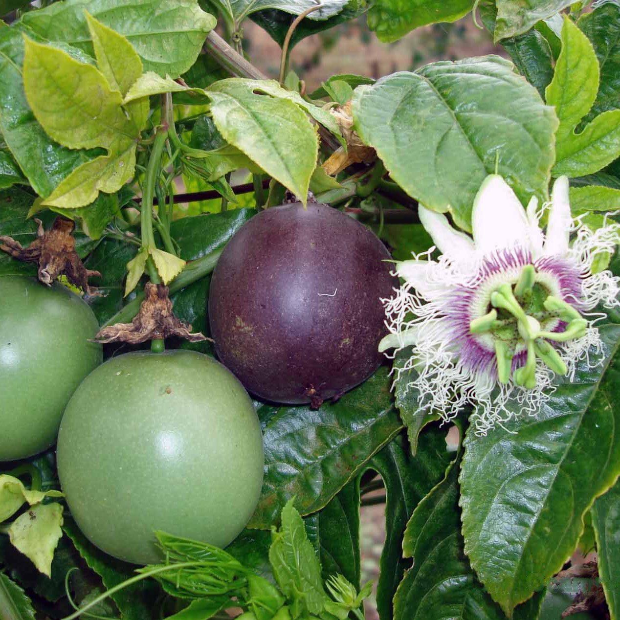 Passiflora_edulis Large Black 02