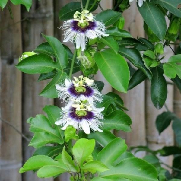 passiflora Panama Gold 03