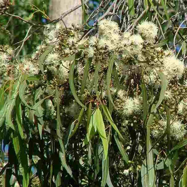 Corymbia citriodora0