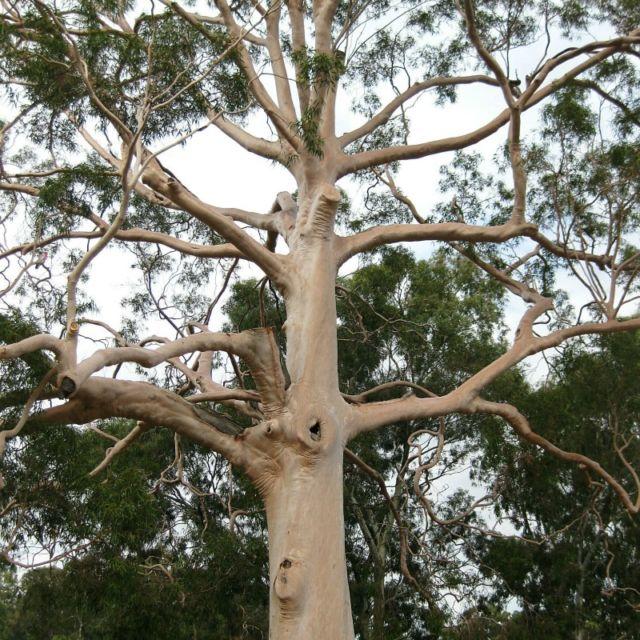 Corymbia citriodora1