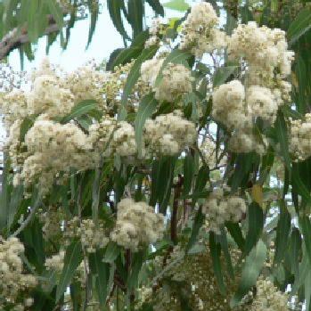 Corymbia clarksoniana0