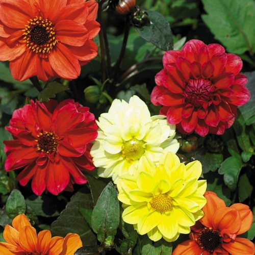 Dahlia Bloody Mary Mix Seed X100