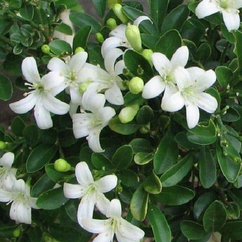Murraya Paniculata 02