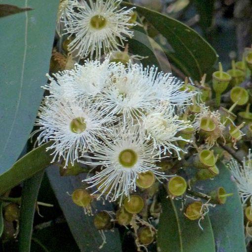 corymbia maculata  u2013 spotted gum seed x30  u2013 ole lantana u2019s seed store