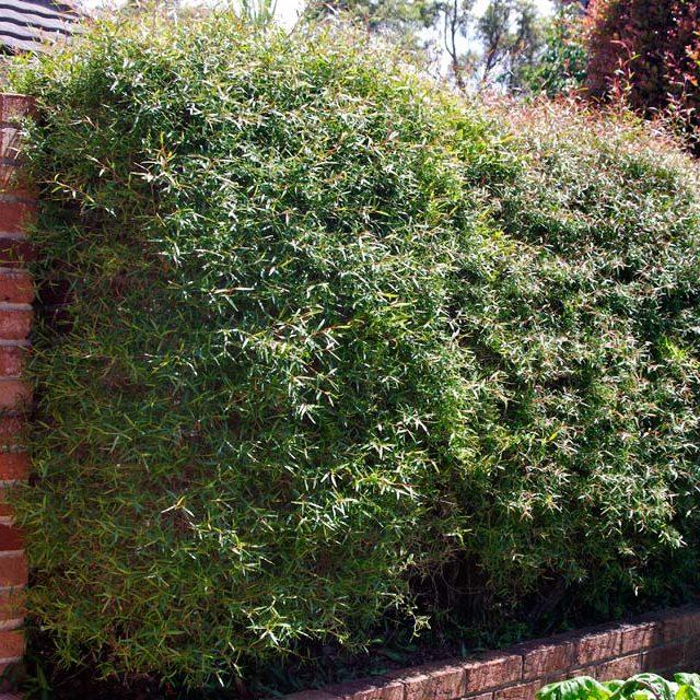 leptospermum petersonii  u2013 lemon scented tea tree seeds x 200  u2013 ole lantana u2019s seed store