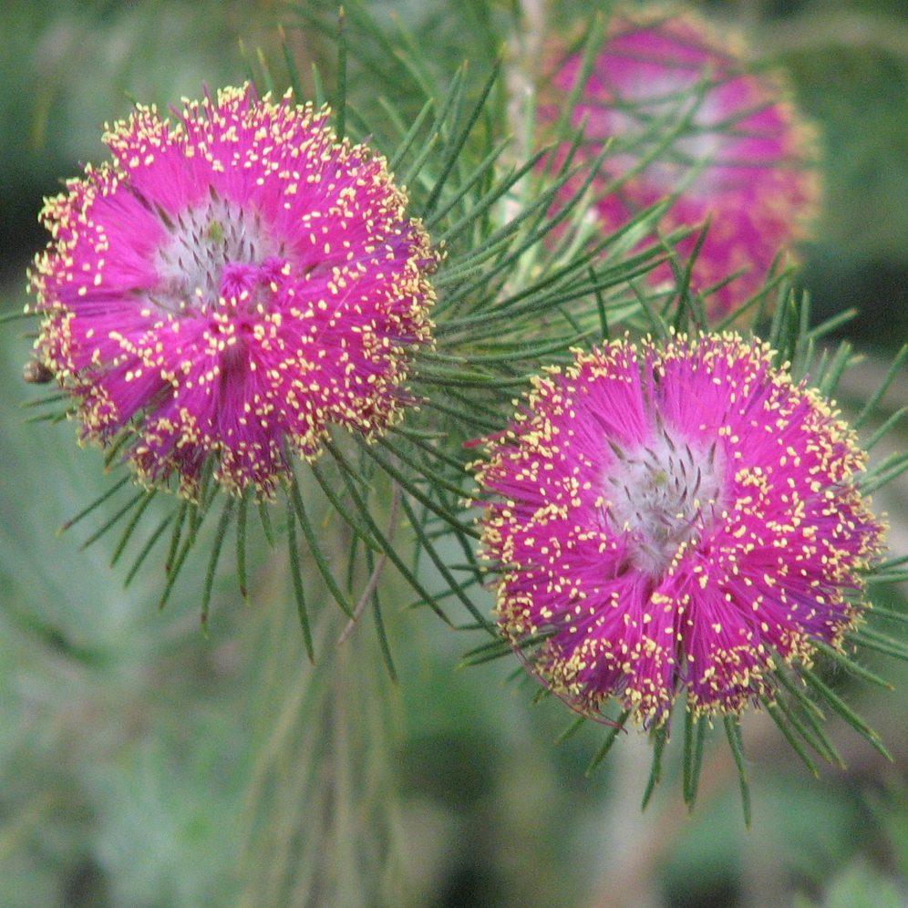 trichophylla 01