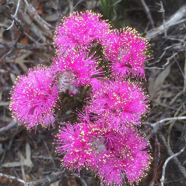 trichophylla 04