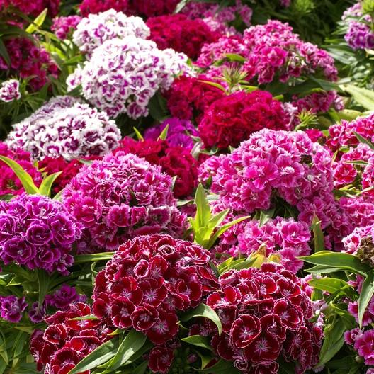 Dianthus Sweet william Mix1
