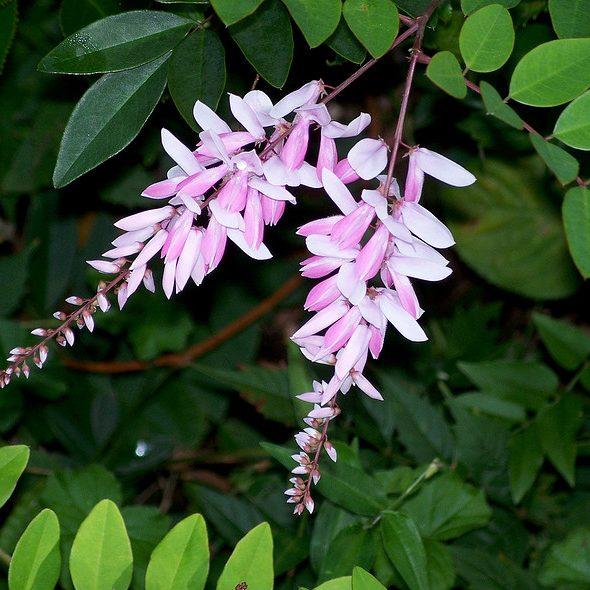 Indigofera australis0
