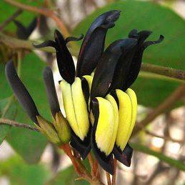 Kennedia nigricans 01