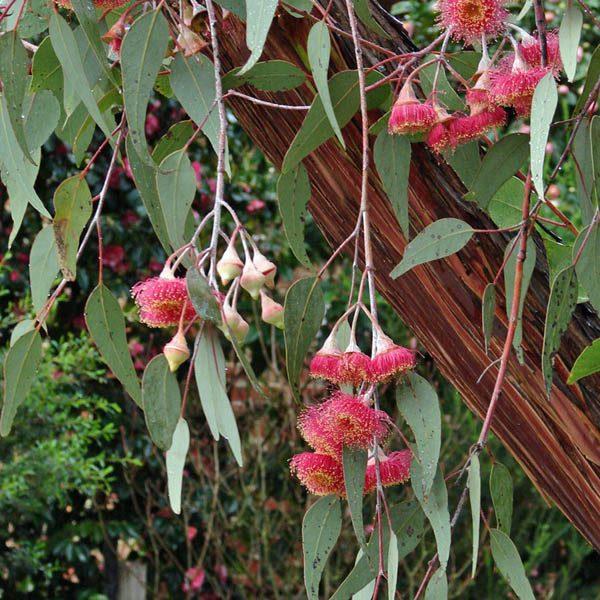 caesia ssp magna