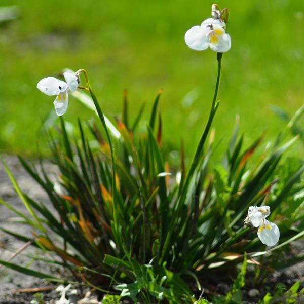 diplarrena latifolia00
