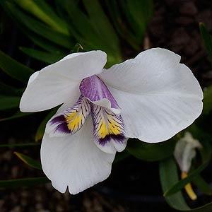 diplarrena latifolia01