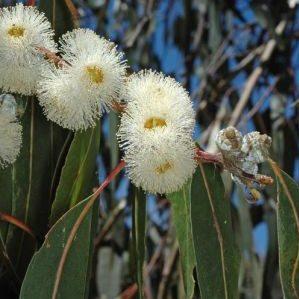 globulus ssp bicostata0