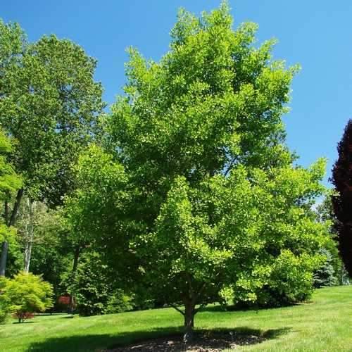 Ginkgo Biloba Ginkgo Or Maidenhair Tree Seeds X2 Ole Lantana S